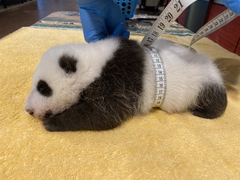 A male giant panda cub at about 6 weeks old rests on a yellow towel as veterinarians use a measuring tape to measure how round it is