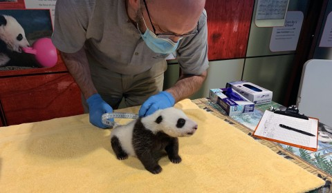 Keeper Marty Dearie measures the 6-week-old male giant panda cub's abdominal girth.