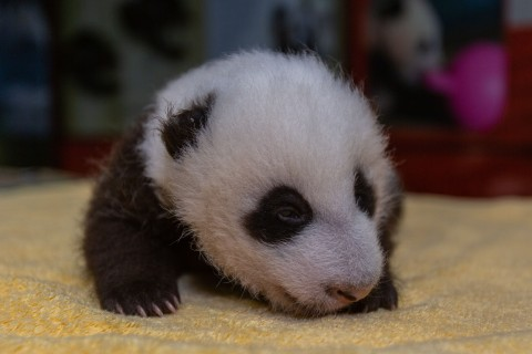 The Zoo's 7-week-old giant panda cub receives a routine check-up.