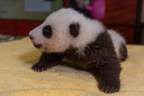 The Zoo's 7-week-old panda cub receives a routine check-up at Smithsonian's National Zoo.