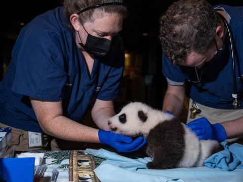 Two veterinarians exam a 2-month-old giant panda cub during a routine veterinary exam.