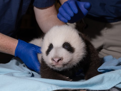 A 2-month-old giant panda cub rests on a blue towel during a veterinary exam.