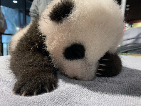 The Zoo's 9-week-old panda cub fell asleep after keepers took his measurements Oct. 29.
