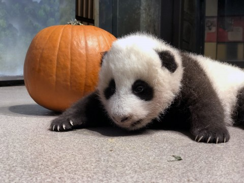 A young giant panda cub with black-and-white fur, round ears and small claws rests near a pumpkin