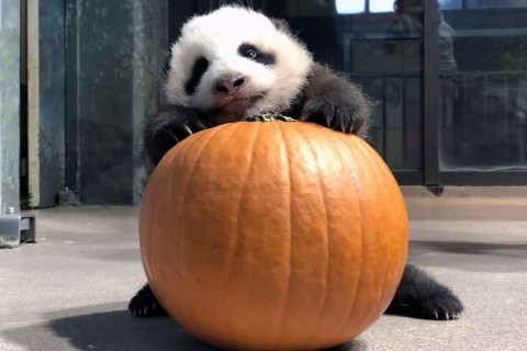 The Zoo's 10-week-old giant panda cub received a pumpkin as enrichment for Halloween.