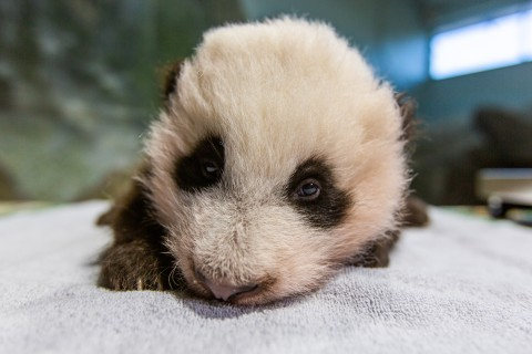 A young giant panda cub with black-and-white fur, round ears and small claws rests on a towel during a routine exam.