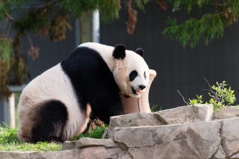 panda outside
