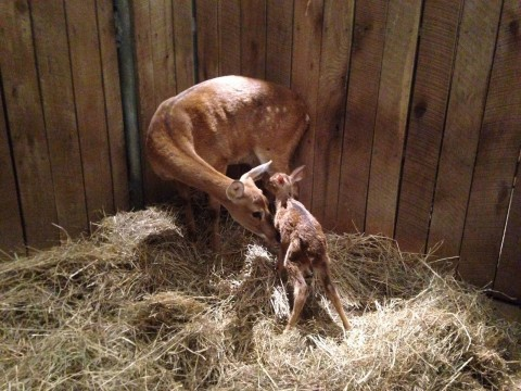 A female Eld's Deer nuzzles her fawn