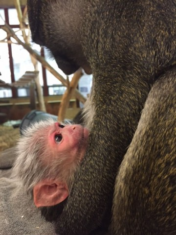 Photo of a baby Allen's swamp monkey with its mother Layla.