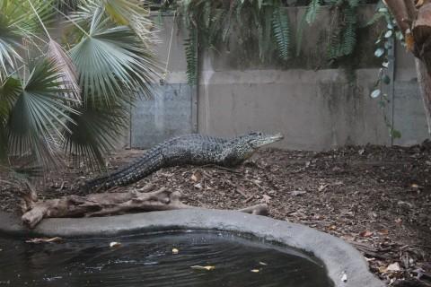 Female Cuban crocodile nesting