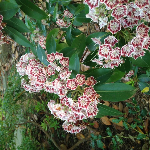 A close-up photo of flowers blooming on a mountain laurel shrub