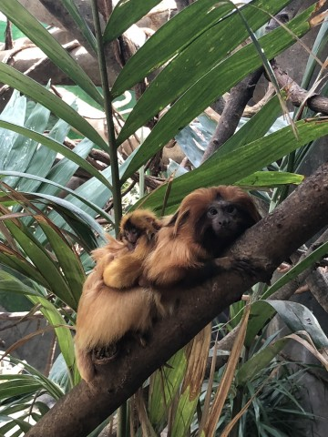 Izzy, a golden lion tamarin with her two infants.