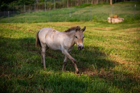 Dahlores, a Przewalski's horse filly at the Smithsonian Conservation Biology Institute.