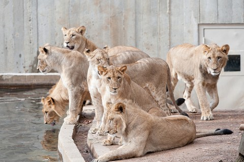 lion cubs by water