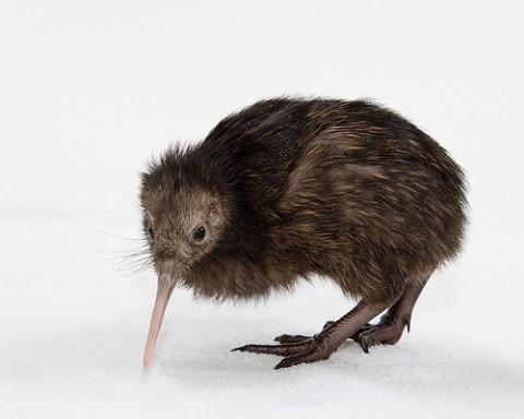 small brown kiwi