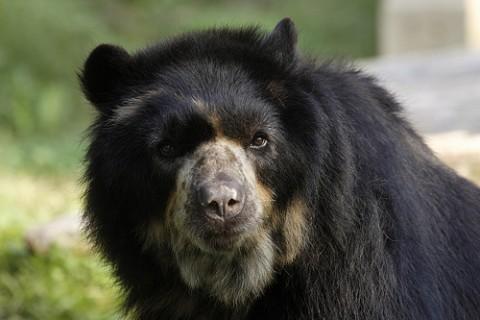 A closeup of an adult Andean Bear