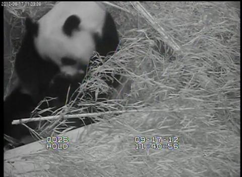 Panda in straw