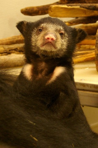 sloth bear cub upright