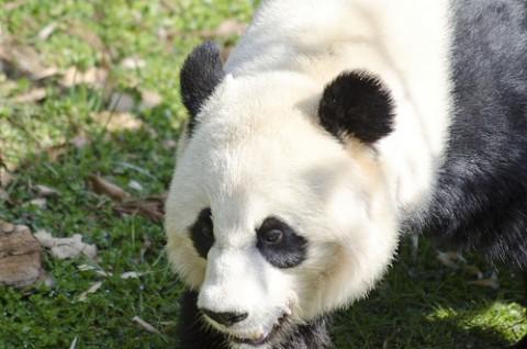 panda in its yard
