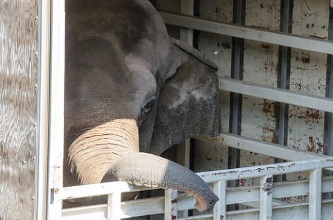 Asian Elephant Bozie Arrives at the Smithsonian's National Zoo