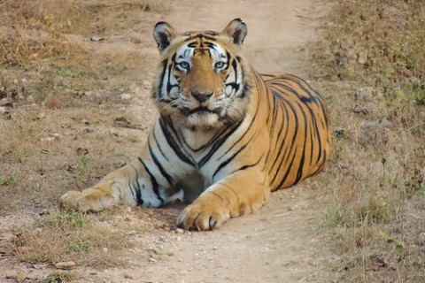 tiger on trail
