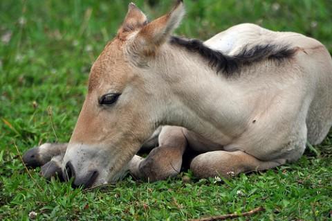 foal resting