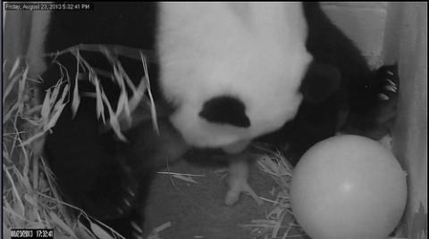 panda with tiny newborn cub