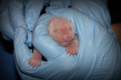 panda cub being held by gloved hand
