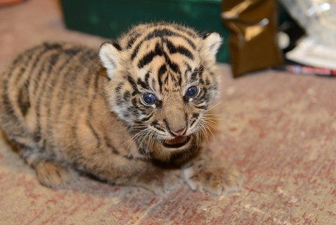 Tiger cub resting
