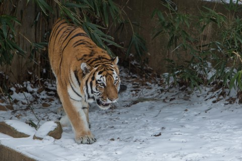 An Amur tiger in the snow