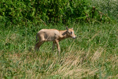 A newborn scimitar-horned oryx calf walks through tall green and yellow grass at the Smithsonian Conservation Biology Institute in Front Royal, Virginia