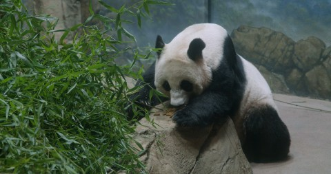 Giant panda Mei Xiang eats leafeater biscuits off of a rock in her indoor habitat. A pile of bamboo for her to eat is stacked nearby.