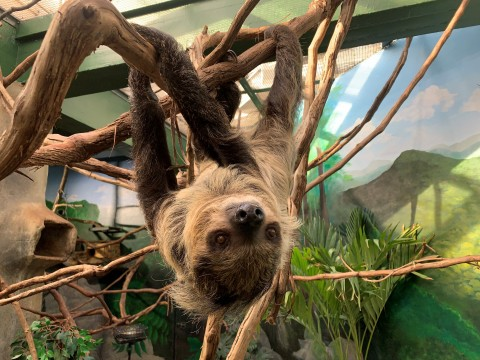 A southern two-toed sloth with coarse fur, long limbs and curved claws hangs upside-down from a tree branch.