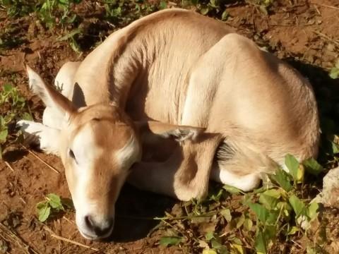 Scimitar-horned oryx calf