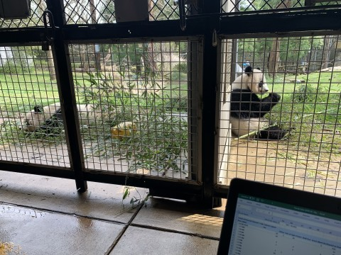 two giant pandas in separate enclosures sit with their backs to one another