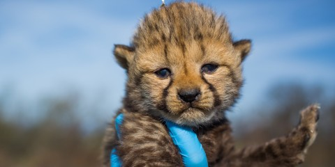 cheetah cub being held in a gloved hand