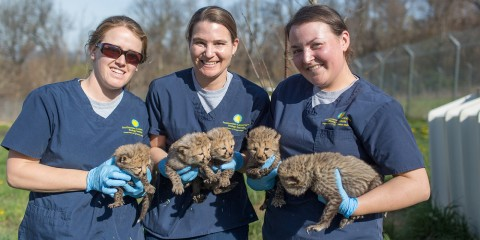 Three scientists holding five cheetah cubs