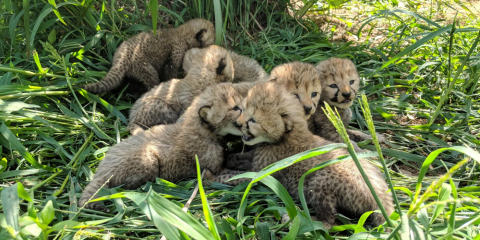 a litter of cheetah cubs sits in the grass