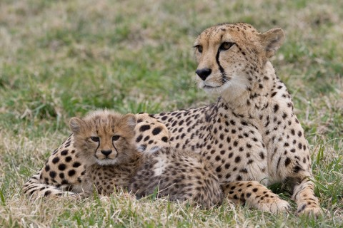 A cheetah cub and mother laying in the grass