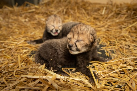 two cheetah cubs lay in hay. they're eyes are not open yet.