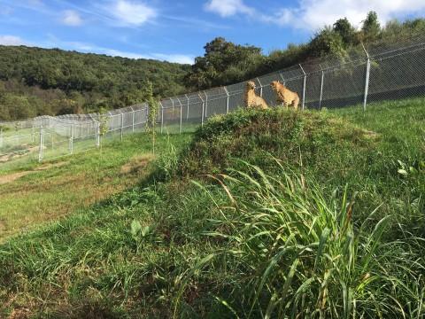 Two cheetahs at SCBI's cheetah ridge facility.