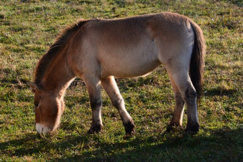Christine, the first Przewalski's horse born from artificial insemination.