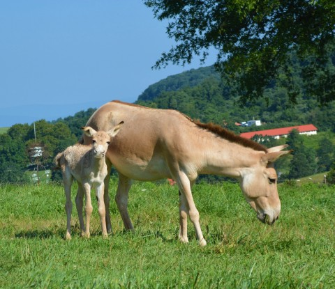 A Persian onager colt standing next to his mom.