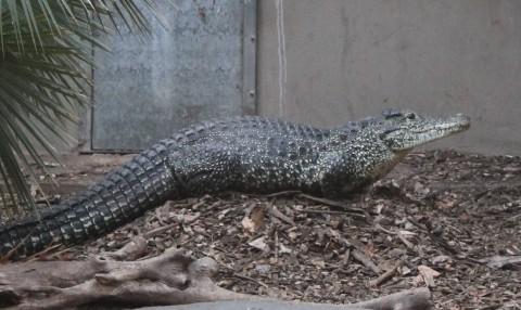 Cuban Crocodile on a nest