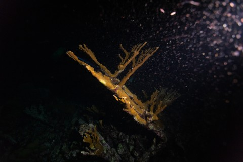 An elkhorn coral underwater in the dark with a light shone on it revealing the eggs it is releasing