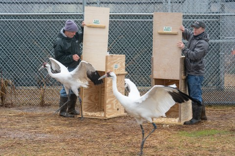 Scientists release two whooping cranes (large birds with long, thin legs, long necks and pointed bills) into their new habitat at the Smithsonian Conservation Biology Institute in Front Royal, Virginia