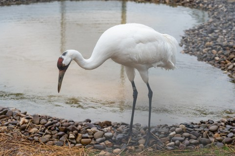 A whooping crane (a large bird with long, thin legs, a long neck, and pointed bill) explores near a pond in its new habitat at the Smithsonian Conservation Biology Institute in Front Royal, Virginia