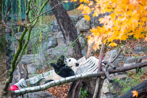 Giant panda Bei Bei leans back in his hammock eating bamboo.