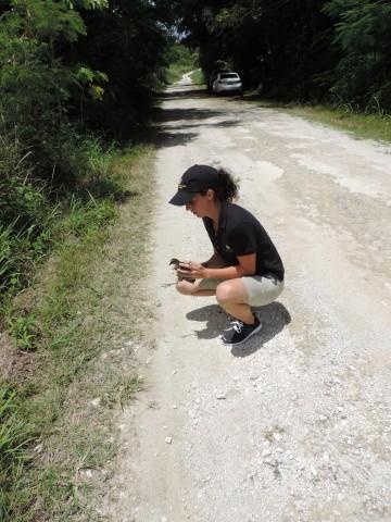Guam rail release on Rota.