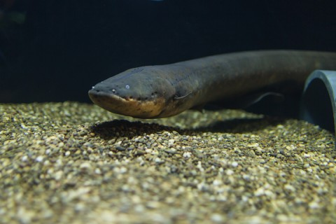 An electric eel in the new Electric Fishes Demonstration Lab in the Amazonia Exhibit at the Smithsonian's National Zoo.